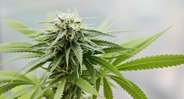 Medical marijuana cards: Top 10 medical conditions people can fake