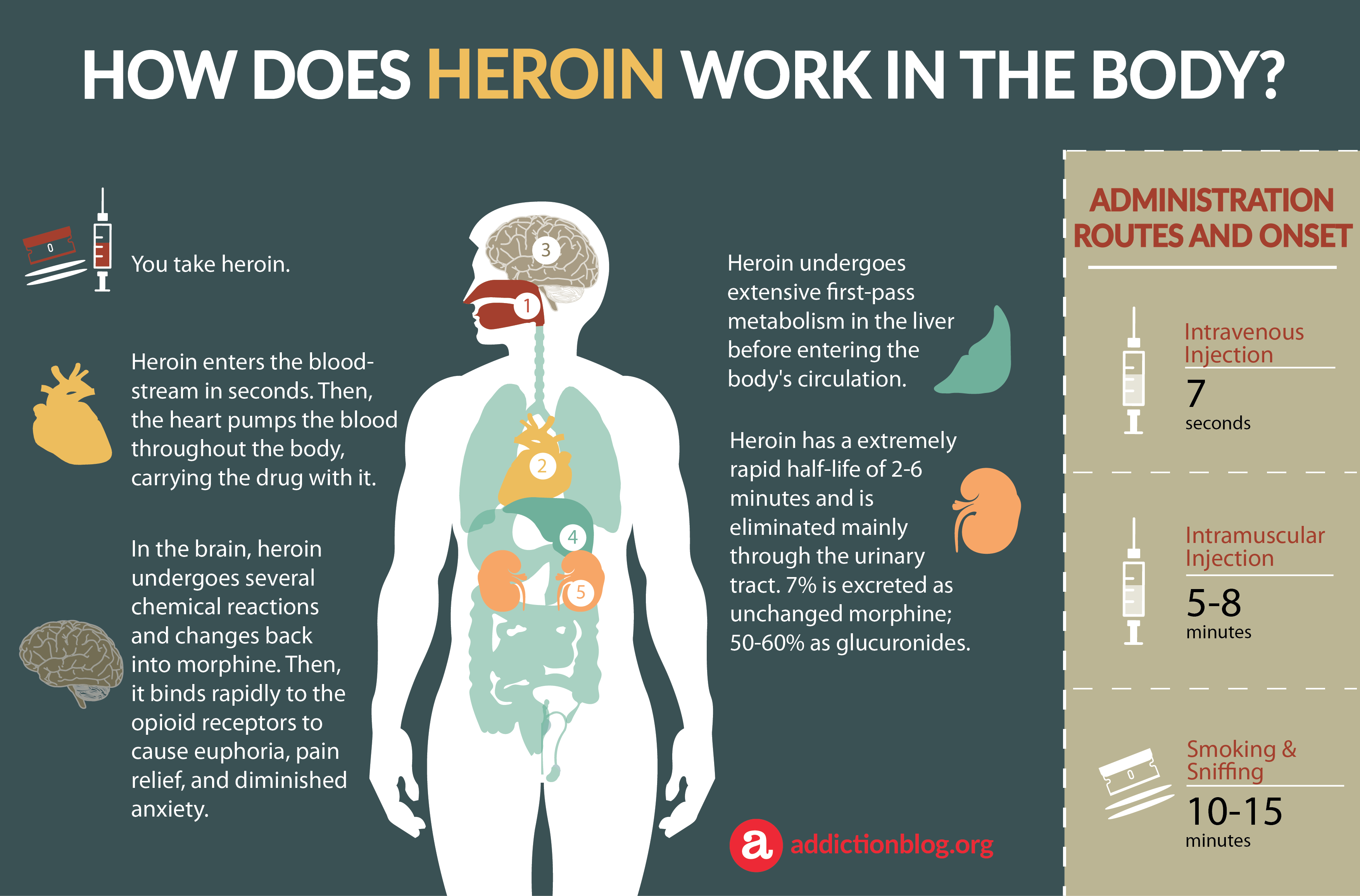Heroin Metabolism in the Body: How Heroin Affects the Brain (INFOGRAPHIC)